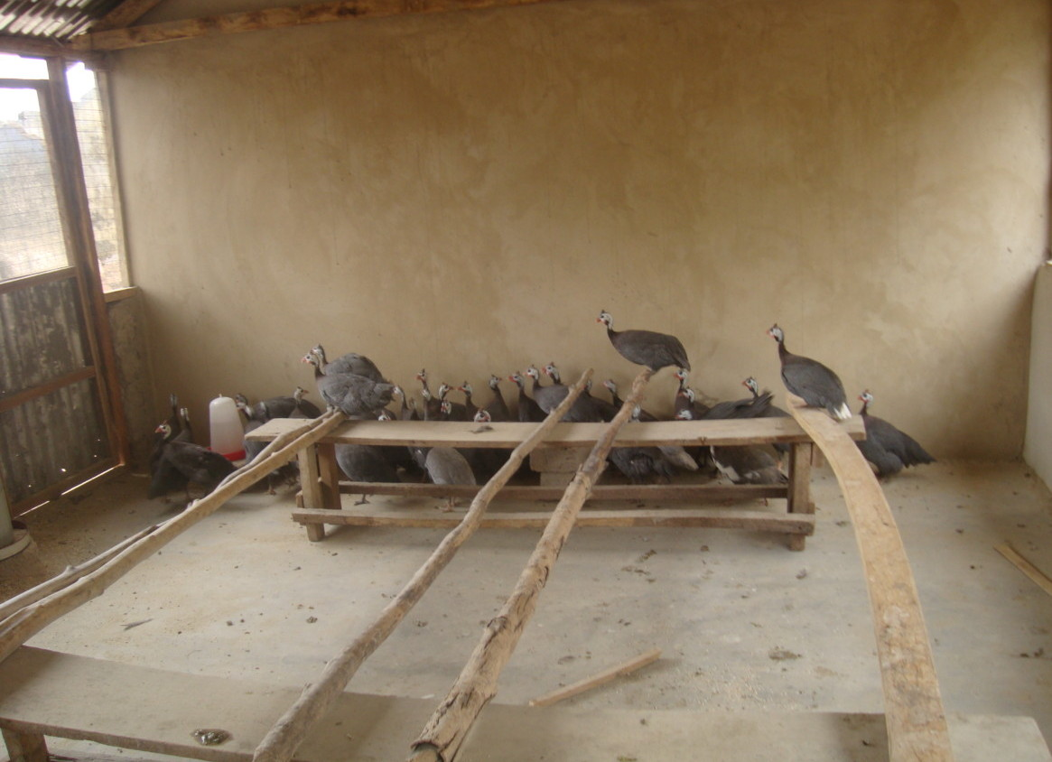 Photo of a flock of guinea fowl in a coop in Ghana